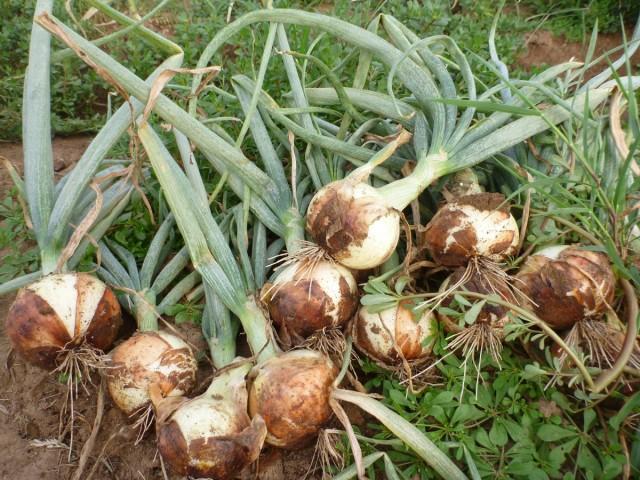 Если раньше положенного периода извлечь луковицу из земли, то кроющие чешуи лука сформируются не полностью и не смогут защитить головку от гниения