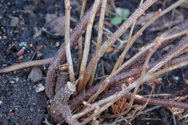 Омолаживающая обрезка смородины обязательно должна предусматривать удаление ветвей старше пятилетнего возраста