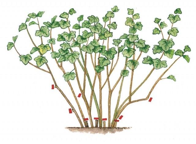 Омолаживающую обрезку кустов смородины старше семи лет лучше проводить не за один сезон