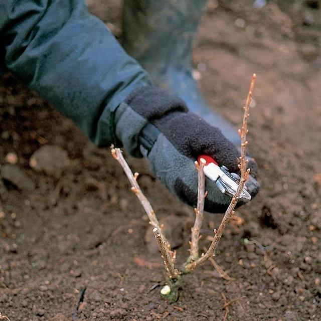 Кардинальная обрезка куста смородины, его фактическое омоложение, должна происходить уже в год посадки этого саженца на участке