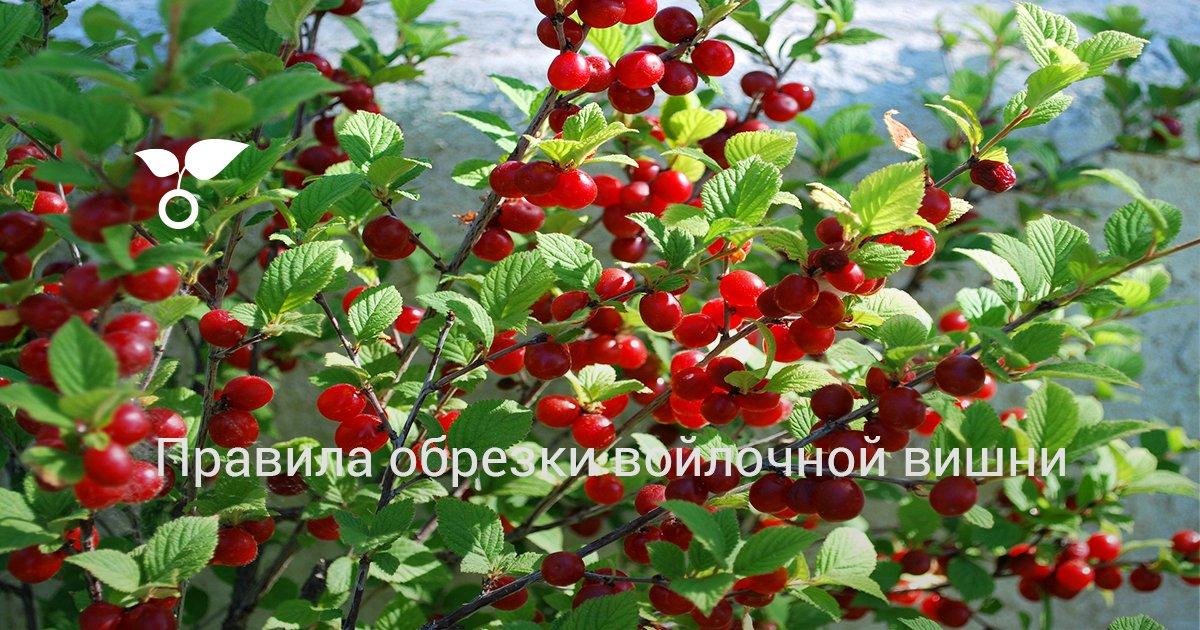 Обрезка войлочной вишни весной для начинающих, видео и фото