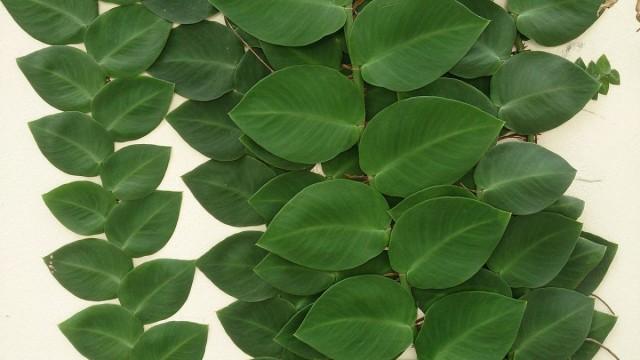 Рафидофора стебельчатая или скрытостебельная (Raphidophora korthalsii)