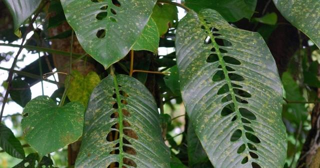 Рафидофора в естественных условиях произрастания