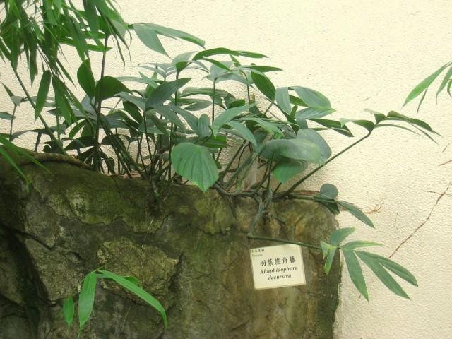 Рафидофора низбегающая (Raphidophora decursiva)