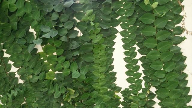 Рафидофора — комнатная лиана для настенного озеленения
