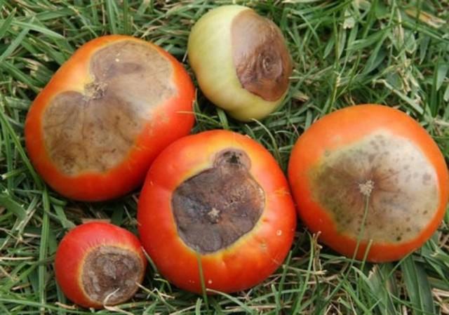 Все пораженные плоды нужно обязательно уничтожать