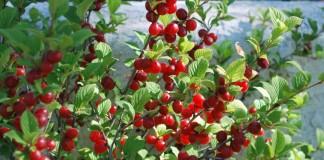 Правила обрезки войлочной вишни