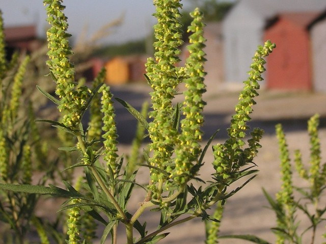 Осторожно — амброзия! Как уничтожить опасный для здоровья сорняк?