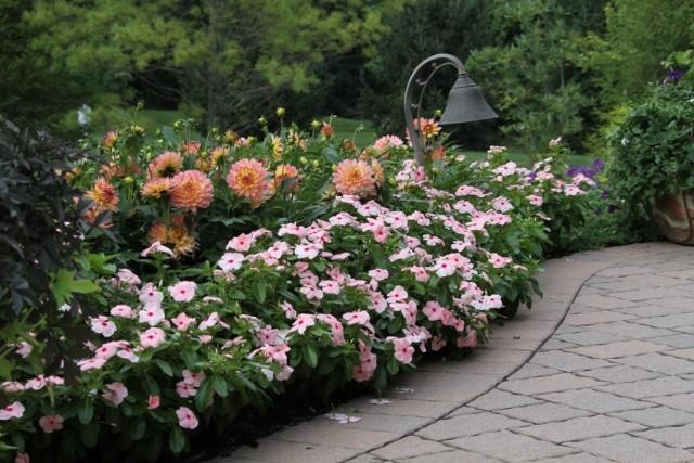 Георгины великолепно сочетаются с любыми растениями - и многолетними, и сезонными