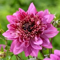 Анемоновидная георгина (Anem, Anemone-flowered dahlias)