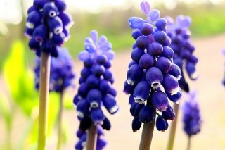 Мускари душистый (Muscari racemosum)