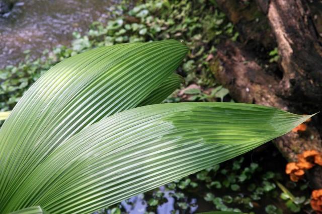 Куркулиго-молинерия — шикарные листья при минимальном уходе
