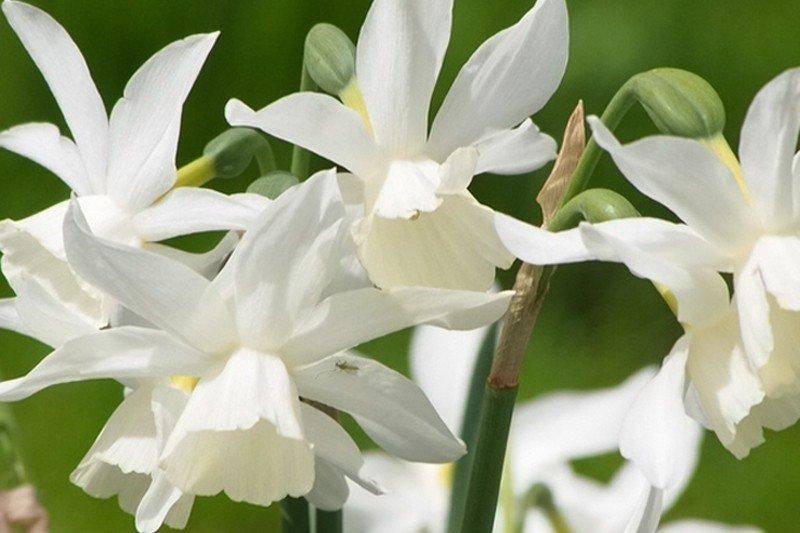 narcissus-thalia-1