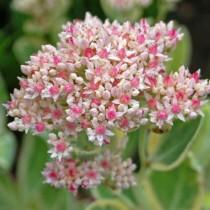 Очитник бело-розовый (Hylotelephium erythrostictum)