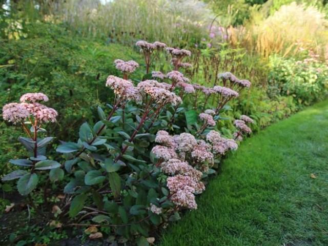 Очитники - растения, которым найдется место в любом саду, а особенно - природного стиля