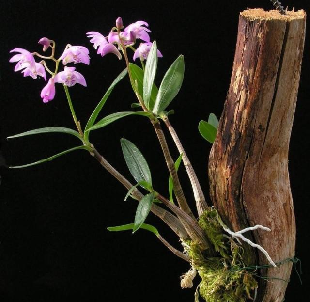 Выращивание орхидеи беспочвенным способом, на кусках коры – один и наиболее эффектных вариантов