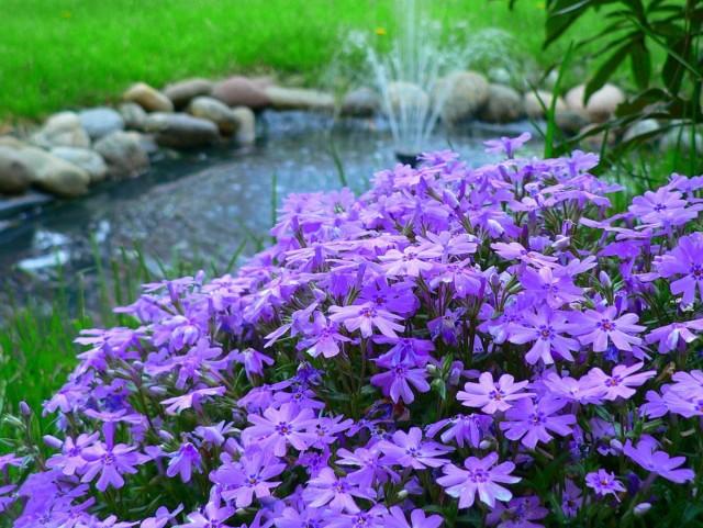 Рыхлодерновые флоксы — «средние» по размерам и срокам цветения