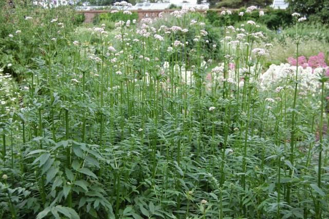Отличительной особенностью валерианы является специфический запах, который придают растениям эфирные масла