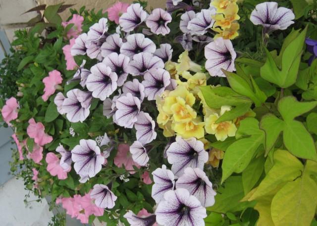 Принцип «посадил и забыл» не уместен для цветущих балконов