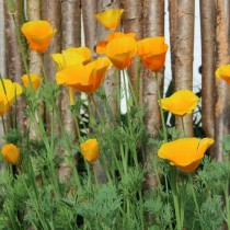 Эшшольция калифорнийская (Eschscholzia californica)