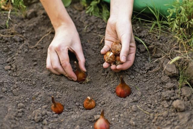 Свежие луковичные посадки желательно замульчировать на зиму, чтобы сохранить тепло и создать уютный микроклимат