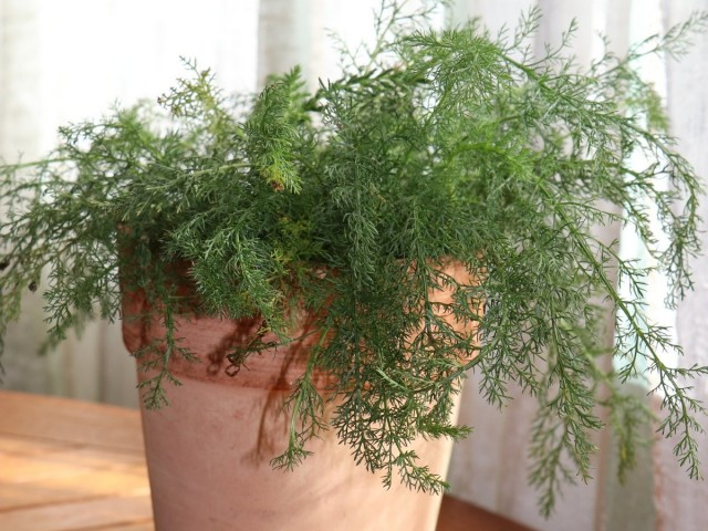 Тысячелистник обыкновенный (Achillea millefolium L.)
