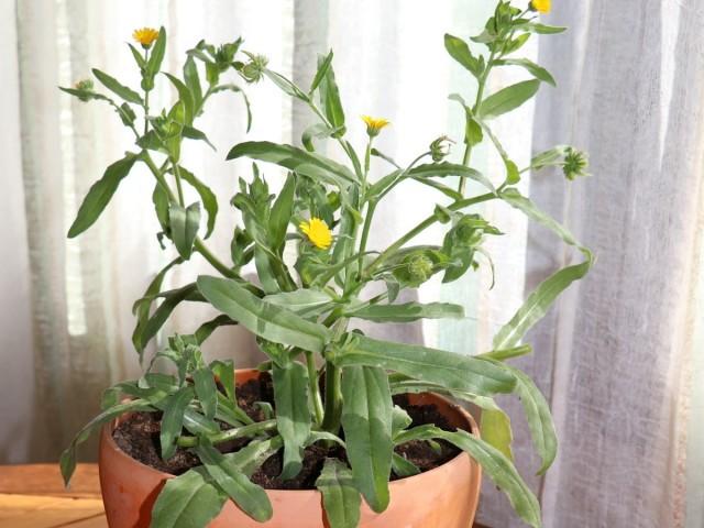 Календула полевая (Calendula arvensis)