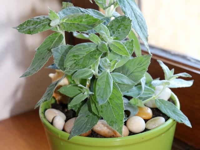Мята длиннолистная (Mentha longifolia L.)