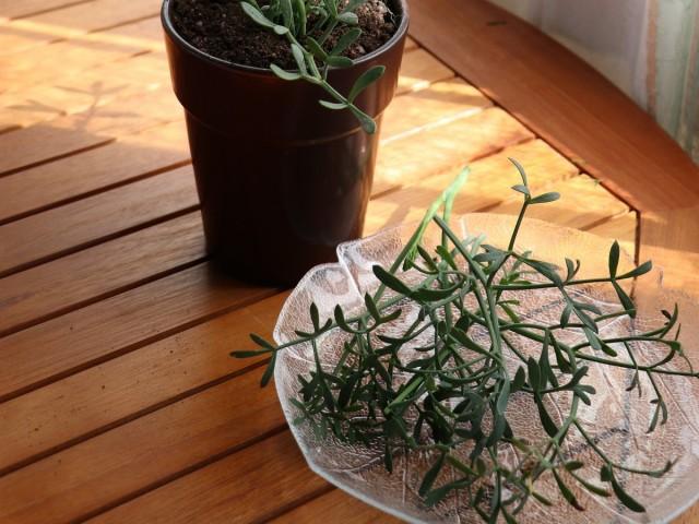 Лекарственное растение критмум применяют как общеукрепляющее, тонизирующее, легкое мочегонное средство