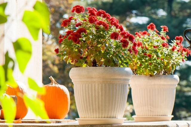 Хризантема корейская (Chrysanthemum × koreanum)