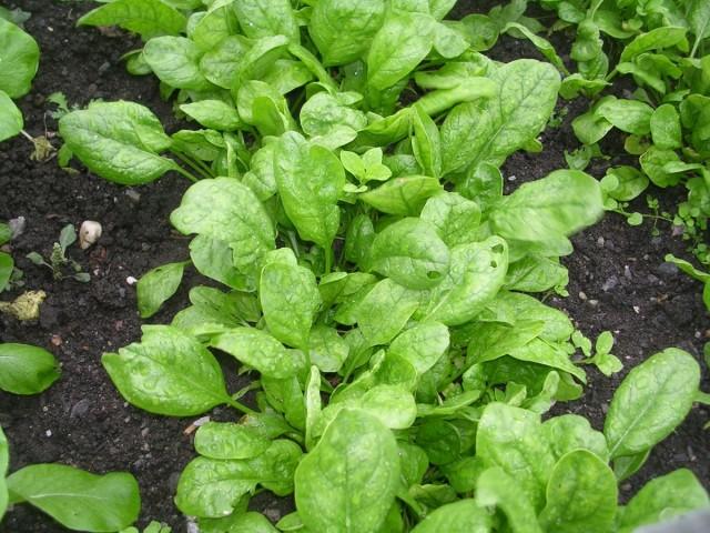 Подзимний посев шпината имеет два срока: в последних числах сентября и в ноябре-декабре