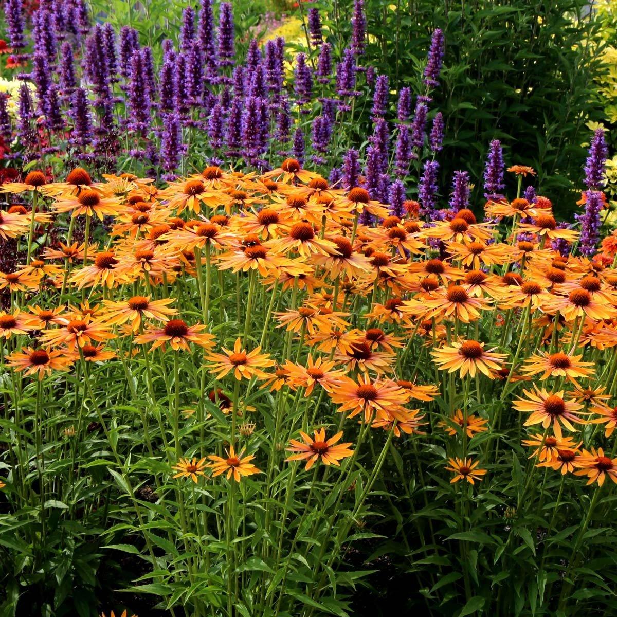 echinacea-purpurea-big-kahuna-3