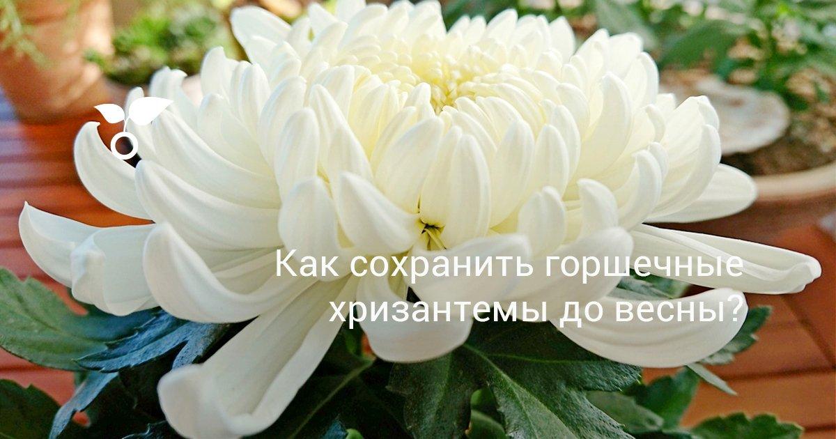 Как реанимировать хризантемы после зимы. Шаровидные хризантемы, как сохранить зимой прекрасный цветок? Утепление при хранении хризантем в открытом грунте