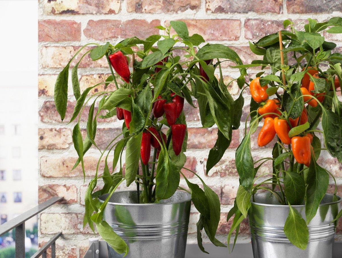как посадить красный перец дома