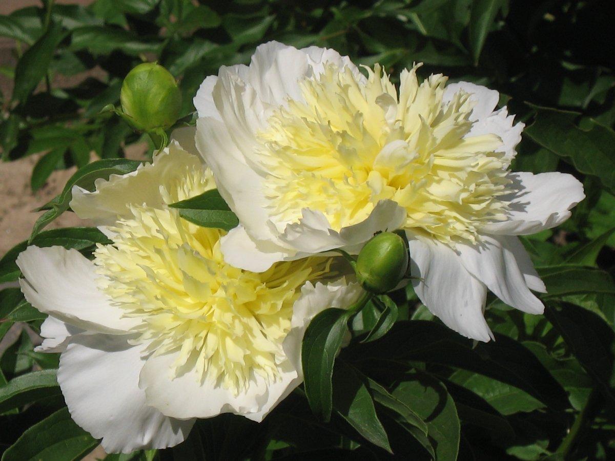 paeonia-lactiflora-honey-gold-2