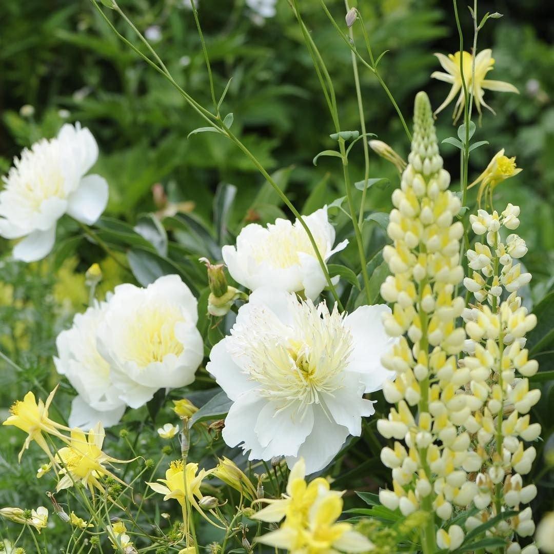 paeonia-lactiflora-honey-gold-3