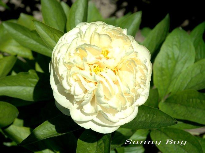 paeonia-sunny-boy-1