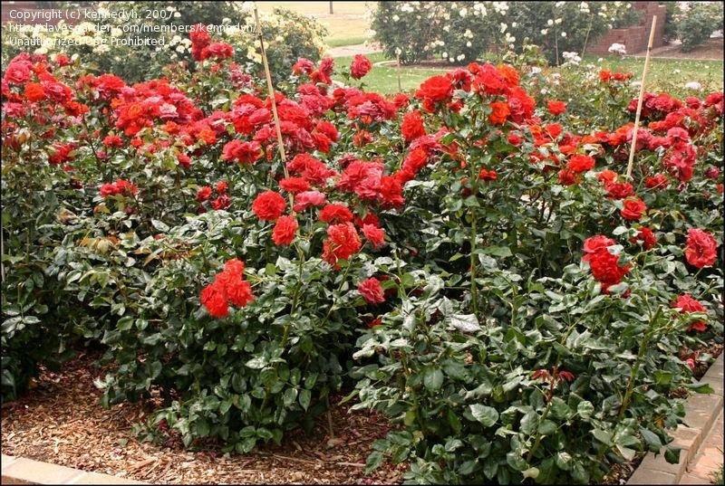 rose-hot-cocoa-3