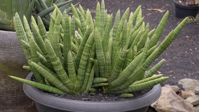 Сансевиерия цилиндрическая может расти в самой легкой и рыхлой почве