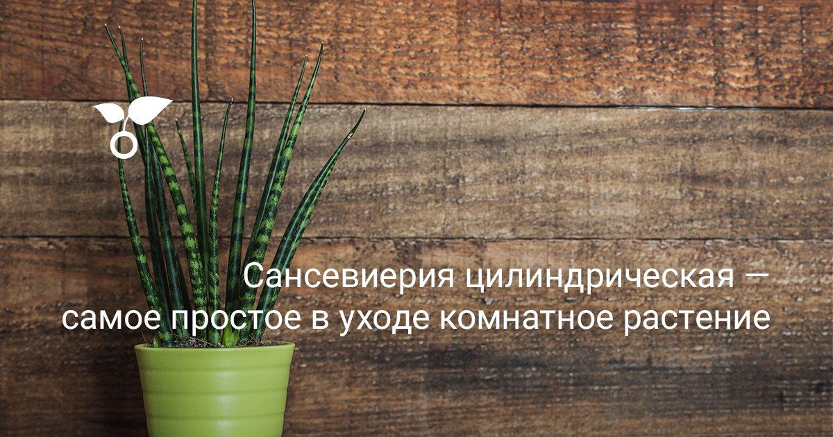 Сансевиерия цилиндрическая – польза растения