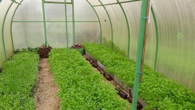 Осенний посев сидератов наиболее эффективный, особенно, если зимой теплица не используется