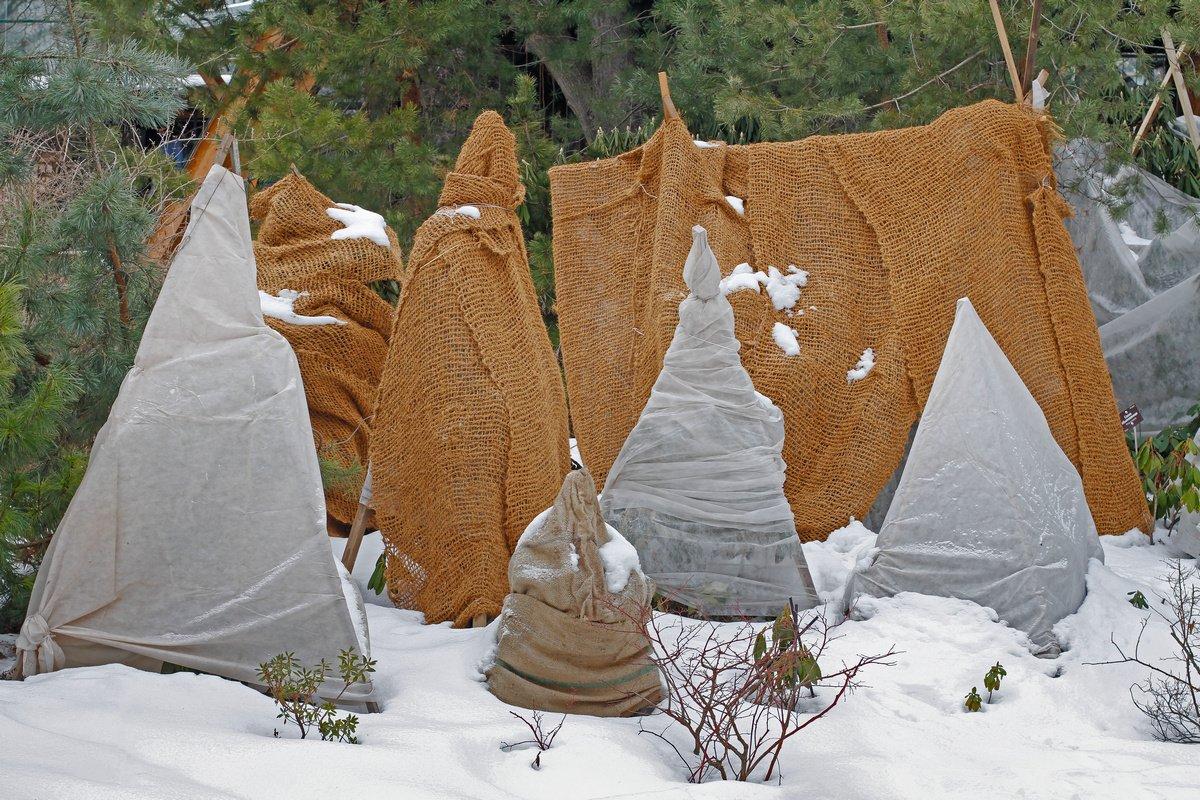 каким материалом укрыть туи на зиму