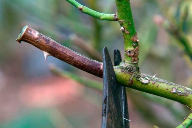 Обрезать осенью можно только больные и старые побеги роз, а также очень сильно разросшиеся кусты
