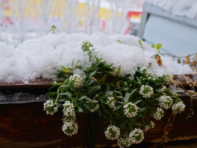 Алиссум на моем балконе цветет до морозов