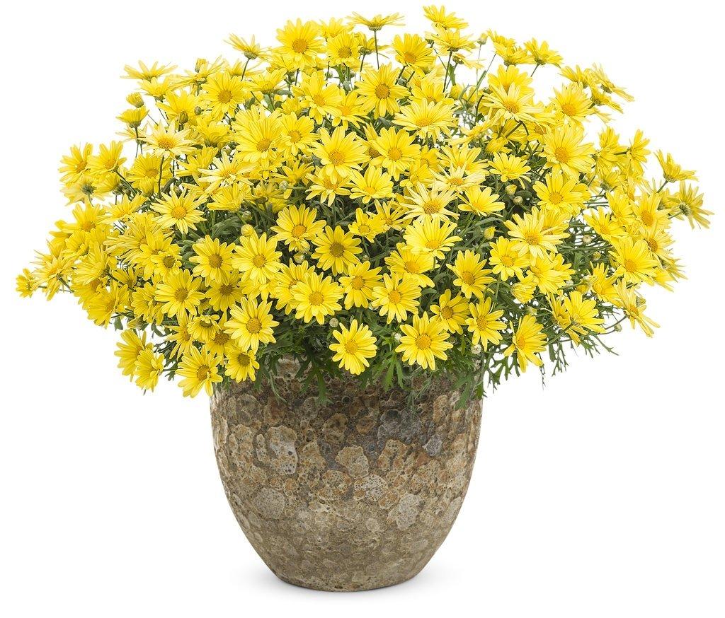 argyranthemum-frutescens-golden-butterfly-2