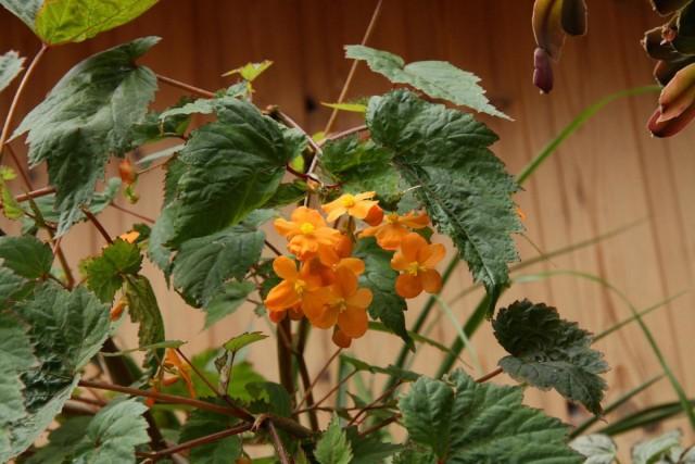Бегонии Сазерленда – оранжево цветущий вид