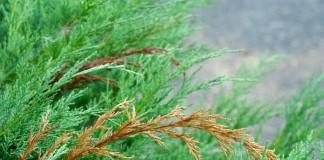 Болезни и вредители хвойных растений — профилактика и меры борьбы