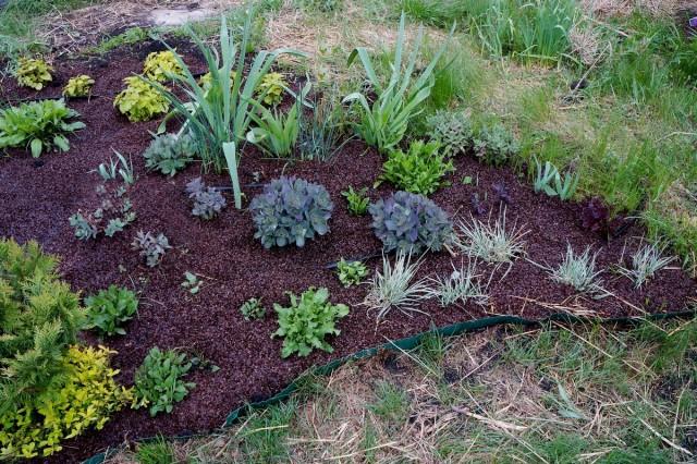 В нашем дачном миксбордере для покрытия почвы с успехом применяется, как мульча, гречневая шелуха