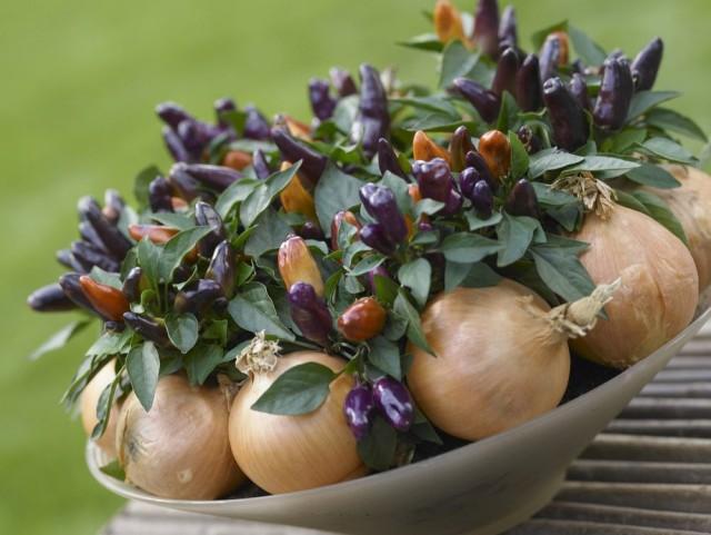 Комнатный горький перец - очень светолюбивое растение