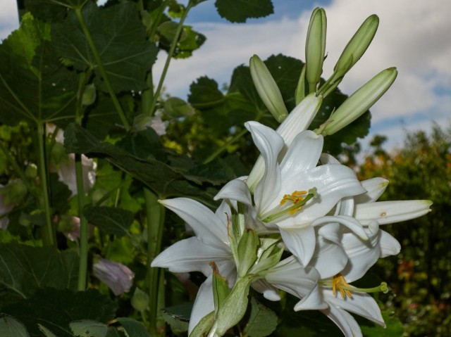Лилия белоснежная, или Кандидум (Lilium candidum)